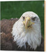 Summer Bald Eagle  Wood Print
