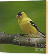 Summer Joy - Male Gold Finch Wood Print by Inspired Nature Photography Fine Art Photography