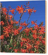 Montbretia, Summer Wildflowers Wood Print