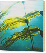 Sun Shines Through Bull Kelp Wood Print