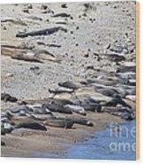 Sunbathing Elephant Seals Along A Beach At Point Reyes California . 7d16065 Wood Print