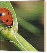 Sunbathing Ladybug Wood Print
