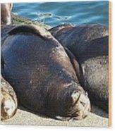 Sunbathing Sea Lions Wood Print