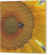 Sunflower And A Bumblebee Wood Print