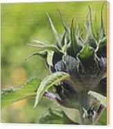 Sunflower Bud Wood Print