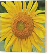 Sunflower Days Wood Print