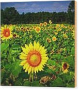 Sunflower Field Wood Print by Melessia  Todd