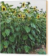 Sunflower Fields Forever   Four Wood Print
