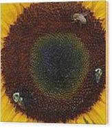 Sunflower Gathering Wood Print