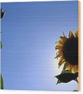 Sunflower In The Sun Wood Print