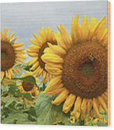 Sunflower Season Wood Print