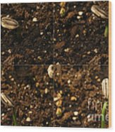 Sunflower Seedling Growth Sequence Wood Print