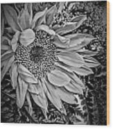 Sunflower Study Wood Print