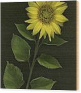 Sunflower With Rocks Wood Print