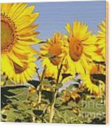 Sunflowering Wood Print