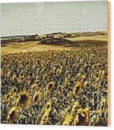 Sunflowers Field  Wood Print