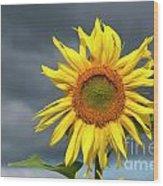 Sunflowers Helianthus Annuus Wood Print