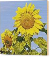 Sunflowers In Morning Wood Print
