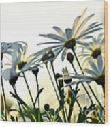 Sunlight Behind The Daisies Wood Print