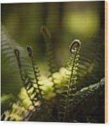 Sunlit Fiddleheads Wood Print