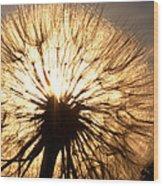 Sunlit Goatsbeard Seed Pod In Scenic Saskatchewan Wood Print