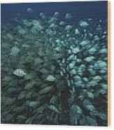 Surgeonfish  Slice Through The Coral Wood Print by Randy Olson
