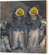 Swallow Chicks Wood Print by Georgette Douwma