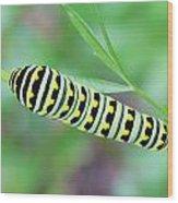 Swallowtail Caterpillar On Parsley Wood Print