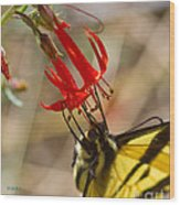 Swallowtail On Scarlet Gilia Wood Print