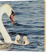 Swan And Signets On Wall Lake  Wood Print