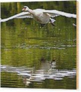 Swan Ascent Wood Print