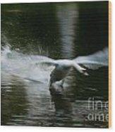 Swan In Motion Wood Print