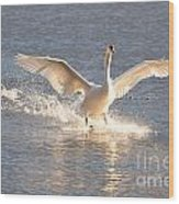 Swan Landing Wood Print