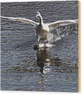 Swan Touches Down Wood Print