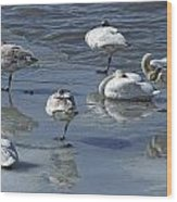 Swans On The Ice Along The Tagish Wood Print
