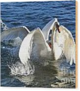 Swans Playing Wood Print