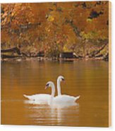 Swans Soft And Smooth Wood Print