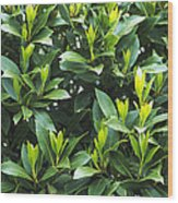 Sweet Bay (laurus Nobilis) Wood Print