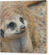 Sweet Meerkat Face Wood Print