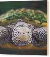 Swimming Turtle Facing Camera Wood Print