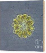 Synura Algae, Lm Wood Print