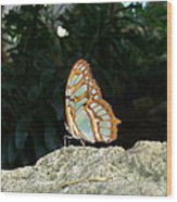 Tailed Jay Butterfly1 Wood Print