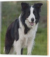 Taj - Border Collie Wood Print by Michelle Wrighton