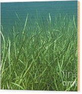 Tapegrass In Freshwater Lake Wood Print