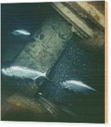 Tarpon Underwater View Wood Print