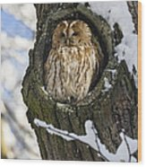 Tawny Owl Strix Aluco In Nest Hole Wood Print