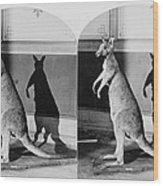 Taxidermy, Kangaroo, Philadelphia Wood Print