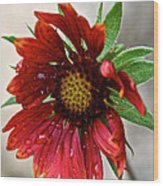 Teary Gaillardia Wood Print