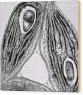Tem Of Chloroplasts Wood Print by Dr Jeremy Burgess