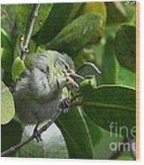 Tennesse Warbler Eating Mangrove Wood Print